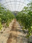 2011 spring tomatoes